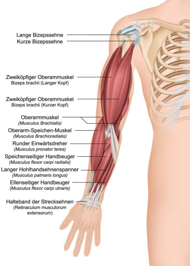 Oberarm Anatomie